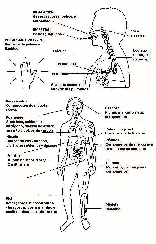 Organos del cuerpo humano para colorear - Imagui